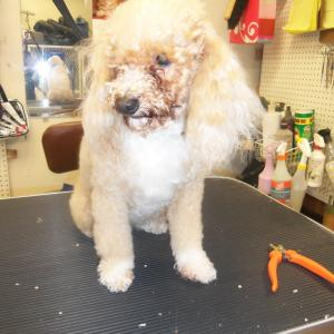 Ajunee's client after bath, before groom